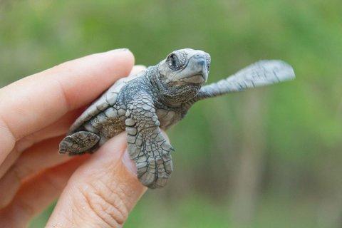 Olive Ridley sea turtle hatchlings at Refugio Vida Silvestre La Flor. Playa La Flor, Nicaragua. © Hal Brindley .com